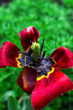 Tulipe fanée Images libres de droits