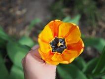 Tulipe frang?e jaune dans le jardin femelle de main au printemps ?troit, tulipe dans la fin de main de la femme s  image libre de droits