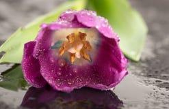 Tulipe humide sur le noir Image libre de droits