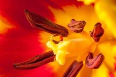 Tulipe intérieure image stock
