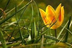 Tulipe jaune Photo libre de droits