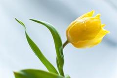 Tulipe jaune Photographie stock