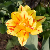 Tulipe jaune Image stock