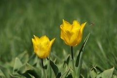 Tulipe jaune Image libre de droits