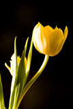 Tulipe jaune Images libres de droits