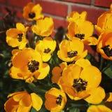 Tulipe jaune Photos libres de droits