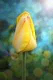 Tulipe jaune avec des gouttes de pluie sur des pétales Photos stock