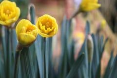 Tulipe jaune avec les feuilles vertes ? l'arri?re-plan photographie stock libre de droits