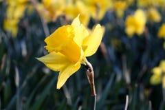 Tulipe jaune avec les feuilles vertes ? l'arri?re-plan photos libres de droits