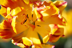 Tulipe jaune avec les pistes rouges Photographie stock libre de droits