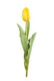 Tulipe jaune d'isolement Image libre de droits