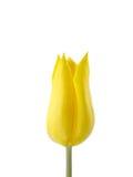 Tulipe jaune d'isolement sur le blanc Image libre de droits