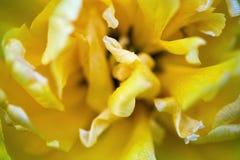 Tulipe jaune de floraison Images stock