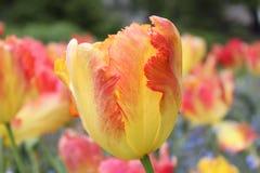 Tulipe jaune et rouge photographie stock libre de droits
