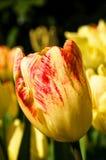 Tulipe jaune et rouge Images stock