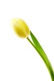 Tulipe jaune, fleur Images stock