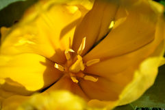 Tulipe jaune intérieure Image stock