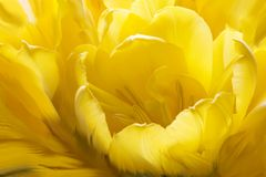 Tulipe jaune nichée Image stock