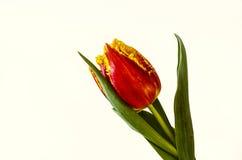 Tulipe jaune rouge avec la frange sur les pétales Photos libres de droits