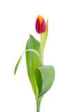 Tulipe jaune rouge sur le fond blanc Photographie stock