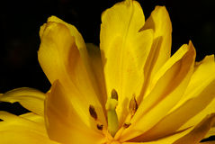 Tulipe jaune sur le noir Photos stock