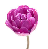 Tulipe lilas de pivoine de double de perfection Photos libres de droits