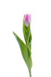 Tulipe lilas sur le fond blanc Photos stock