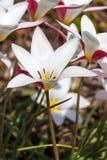 Tulipe ?Madame Jane ? images stock