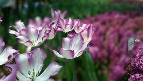 Tulipe-manie ! photo libre de droits
