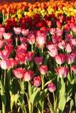 Tulipe multi de couleur Images libres de droits