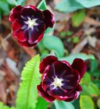 Tulipe noire d'Amsterdam Photographie stock