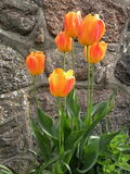 Tulipe orange Photos stock