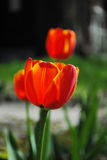 Tulipe orange photographie stock libre de droits