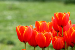 tulipe orange Images stock
