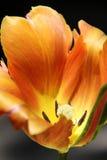 tulipe orange Photographie stock libre de droits