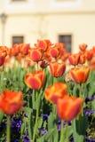 Tulipe orange dans le jardin Photographie stock libre de droits