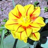 Tulipe orange 2013 de jardin de Toronto Images stock