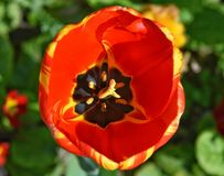 Tulipe orange et jaune Photo libre de droits