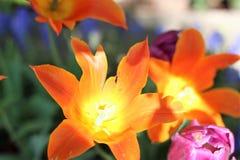 Tulipe orange et jaune ensoleillée image libre de droits