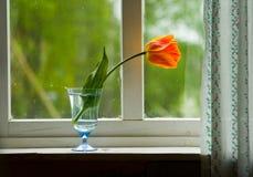 Tulipe orange seule sur une fenêtre Photo stock