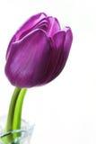 Tulipe pourprée Images stock