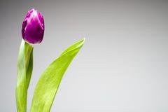 Tulipe pourprée Photos stock