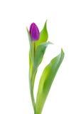 Tulipe pourprée Images libres de droits