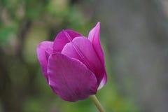 Tulipe pourprée photographie stock libre de droits