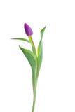 Tulipe pourprée sur le fond blanc Image libre de droits