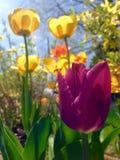 Tulipe pourpre courte Images libres de droits