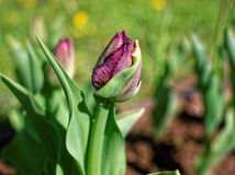 Tulipe pourpre de ressort dans le jardin un jour ensoleillé Photos libres de droits