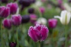 Tulipe pourpre fleurissant dans le jardin d'agrément Photo libre de droits