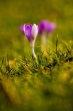 Tulipe pourpre solitaire Photographie stock