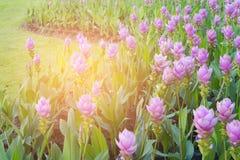 Tulipe pourpre thaïlandaise dans le jardin Photo libre de droits